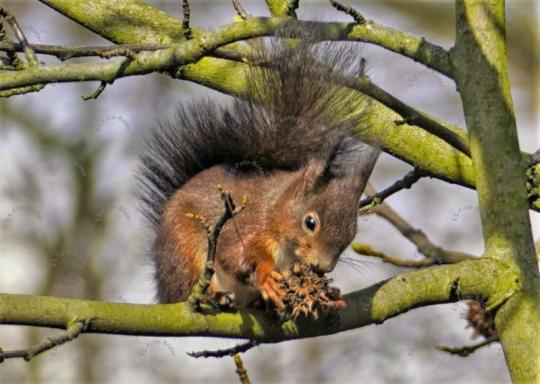 Eichhörnchen auf ein Baum