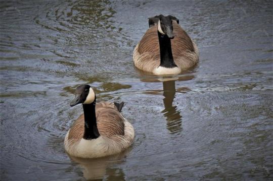 Kanadagans Entenvogel