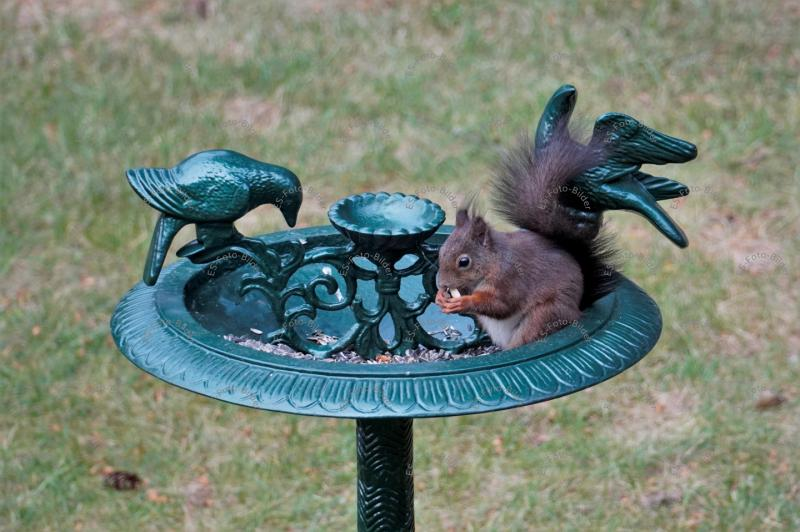 Eichhörnchen auf Vogeltränke