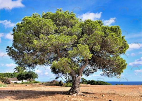 Baum Pinienbaum Spanien Mallorca