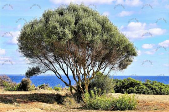 Baum Cala Pi Mallorca