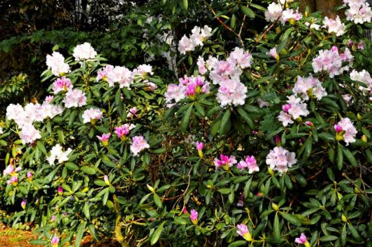 Rhododendron Foto Bild