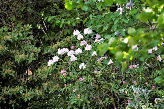 Rhododendron Blume