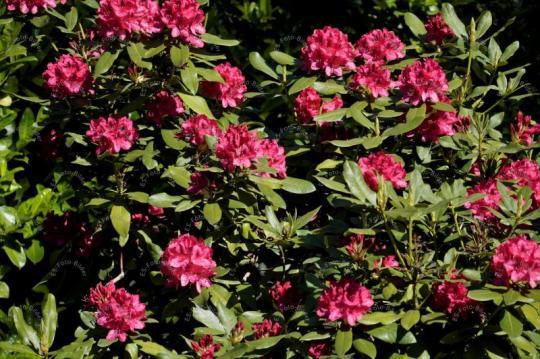 Rhododendren Heidekrautgewächse