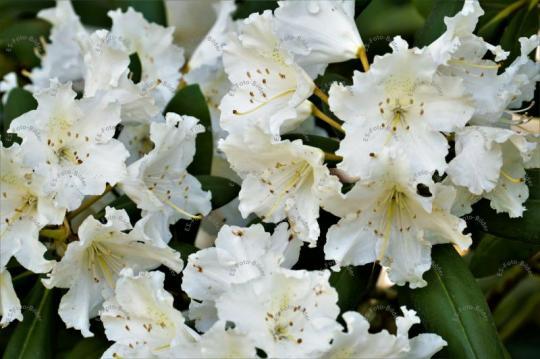 Rhododendren weiß