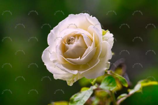 Blume Rose