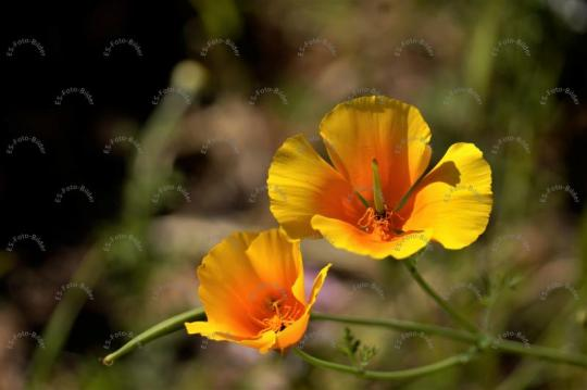 Mohn Goldmohn Blume