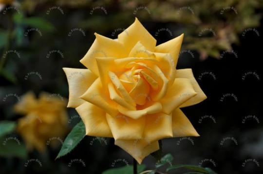 Rosa Chinensis Jacq