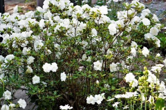 Blumen Japanische Azaleen
