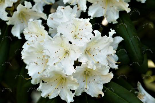 Blume Rhododendron weiß