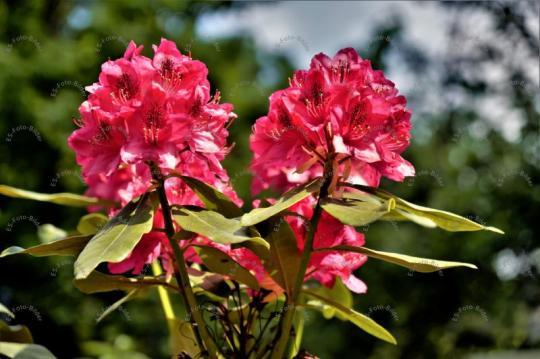 Rhododendren Blume