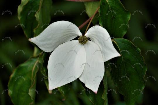 Cornus florida Blume Foto