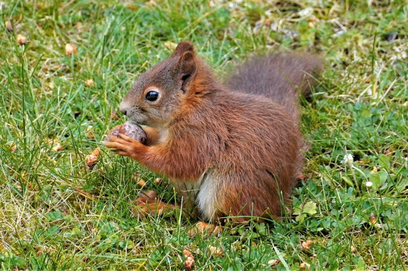 Foto Eichhörnchen mit einer Haselnuss