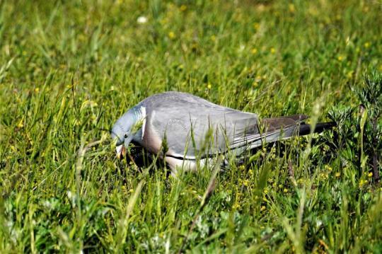 Taub auf eine Wiese
