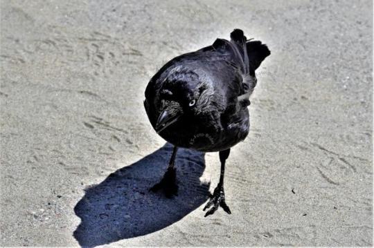 Dohle Vogel