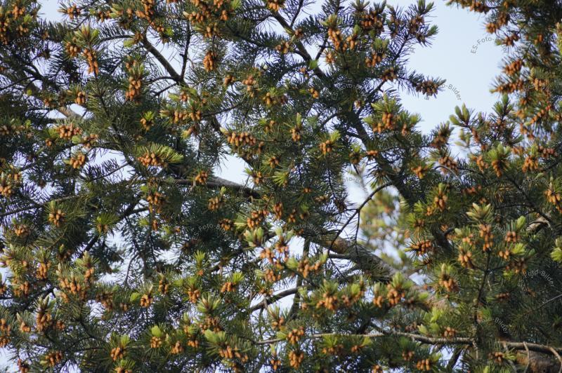 Baum Tanne im Mai
