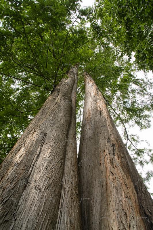 Urweltmammut Baum Foto Bild