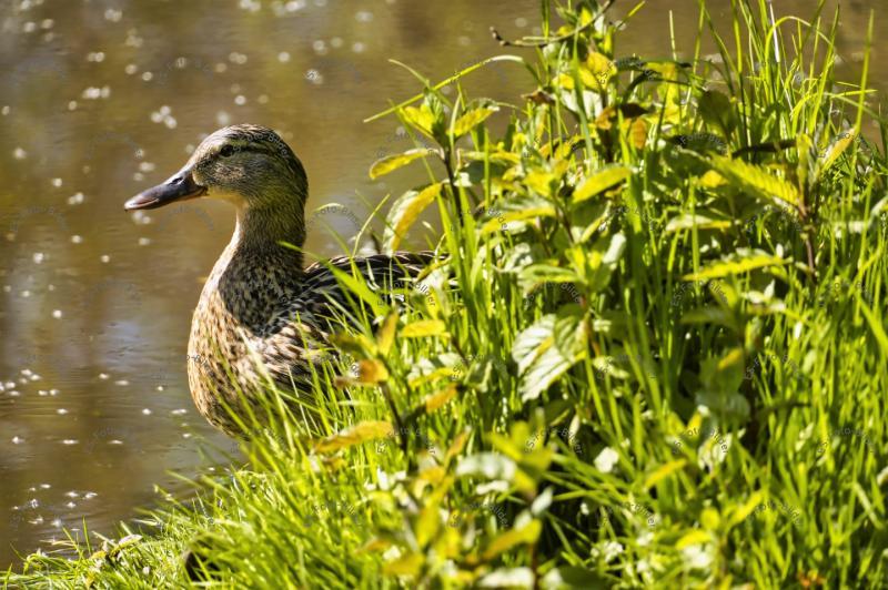 Ente im Wasser Foto Bild