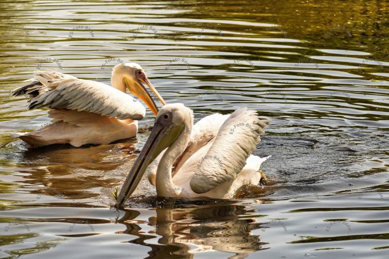 Pelikan Foto Bild