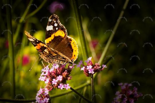Schmetterling Butterfly Painted Lady