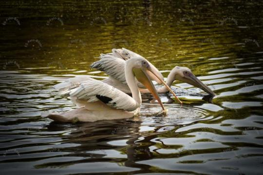Pelikan Pelikane Pelecanidae Foto