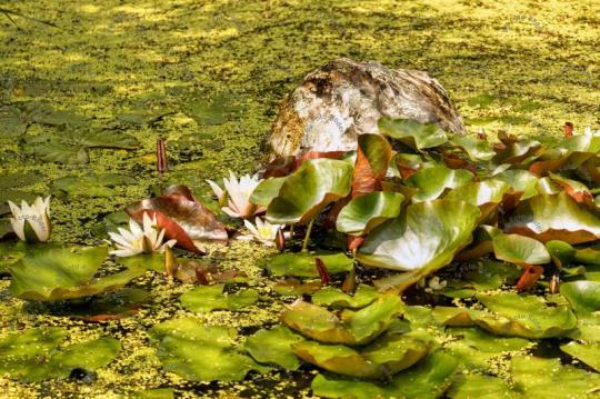 Seerose Wasserpflanze Foto Bild