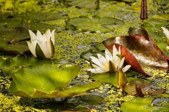 Seerossen im Gartenteich Foto Bild