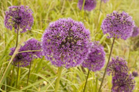 Pflanzenzwiebeln Zwiebelblume Foto